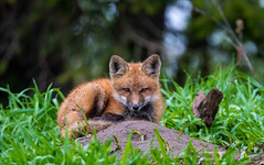 Red Fox Kit (Jamie Lenh Photography) Tags: nature wildlife redfox nikond500 tamron150600 jamielenh fox