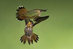 Close encounters of the bird kind (Eric Gofreed) Tags: arizona hummingbird multiflashphotography mybackyard sedona villageofoakcreek