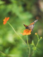 This dream called life (Vincent F Tsai) Tags: nature flower butterfly bokeh blur dof green orange minolta metabones speedbooster panasonic lumixgx8