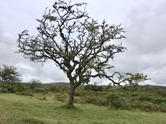 Skeletal tree on Dartmoor (Dave_S.) Tags: dartmoor devon england west country uk gb tree grass moor hills fells landscape field sky united kingdom great britain heath open space wild