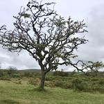 Skeletal tree on Dartmoor thumbnail