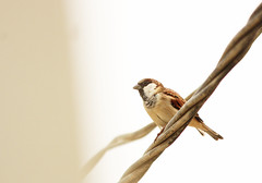 Sparrow (saad.zahid) Tags: house sparrow bestbirdshots eyespy nature birds birdbrilliance adorable perfection innocent topshots practice canon macro wildlifephotography 1300d day sunny karachi cute baby love morning fun 55250mm after rain telelens portrait colorgrade streetstyle