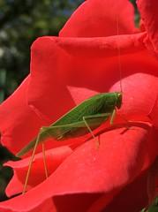Grün auf Rot (TitusT1960) Tags: red green rose insekten natur rot grün