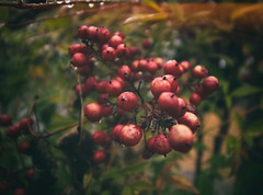 red berries in the rain (annapolis_rose) Tags: plant berries redberries rainyday waterdroplets vancouver