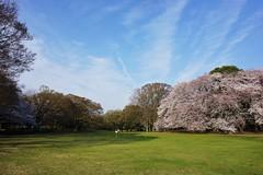 春の砧公園 (setagayatoieba) Tags: japan tokyo setagaya setagayatoieba park spring sky cloud 日本 東京 東京都 砧公園 公園 芝生 桜 春 空 雲