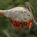 Large Milkweed Bug - Oncopeltus fasciatus, Meadowood Farm SRMA, Mason Neck, Virginia
