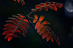 Seasons (anderswetterstam) Tags: fall leaves nature plants seasons tree red autumn september