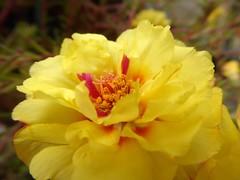 Portulaca settembrina (fotomie2009) Tags: autumn autunno warm colours equinox equinozio dautunno portulaca grandiflora flower fiore flora yellow macro succulent succulenta