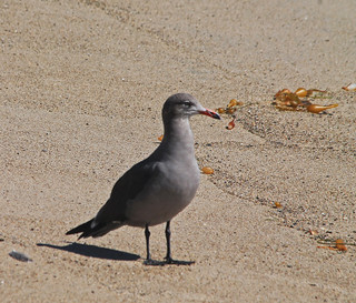447. Heerman's Gull,