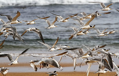 As much as you can throw (Keith Midson) Tags: terns birds flight flying westcoast trialharbour tasmania beach coastal alettertoelisethecure
