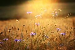 Summer (Rita Eberle-Wessner) Tags: gras getreide grass flowers blume gegenlicht oppositelight macro kornblume makro pflanze plant plants pflanzen blau gelb gold sommer summer insekt insect centaureacyanus cornflower