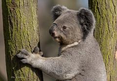 Koala...... (wernerlohmanns) Tags: natur outdoor deutschland duisburgerzoo nikond750 koalas beuteltier schärfentiefe sigma150600c pflanzenfresser