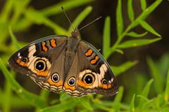 Common Buckeye (kevinmoore57) Tags: buckeye common butterfly marsh amboy