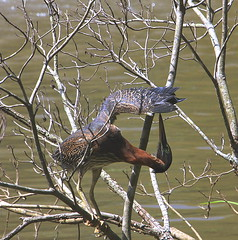 Juvenile Green Heron (Hayseed52) Tags: greenheron heron green water bird preening tree branch summer virginia
