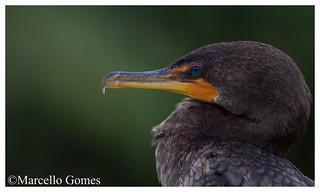 Double-crested Cormorant (Phalacrocorax auritus) DCCO - Emerald Eyes (best viewed large)