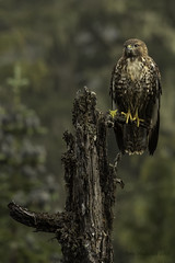 Red-Tail Hawk (Amy Hudechek Photography) Tags: redtailhawk hawk raptor rain fog mountrainier washington summer amyhudechek nature wildlife bird avianphotography wet