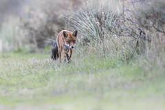 R18_2289 (ronald groenendijk) Tags: cronaldgroenendijk 2018 diereninhetwild rgflickrrg animal copyrightronaldgroenendijk fox nature natuur natuurfotografie netherlands outdoor ronaldgroenendijk vos vulpis wildlife
