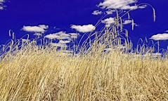 La chanson des blés d'or (Ciceruacchio) Tags: summer estate eté blé wheat grano field campo champ chanson canto song or gold oro cloud nuage nuvola médoc aquitaine aquitania france francia frankreich nikond750