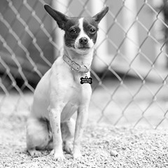 Kara02Sep201826-Edit.jpg (fredstrobel) Tags: dogs pawsatanta phototype atlanta blackandwhite usa animals ga pets places pawsdogs decatur georgia unitedstates us