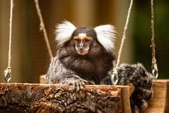 Interest peaked (ranzino) Tags: capemaycountyzoo capemaycourthouse jerseyshore monkey newjersey stoneharbor animal mammal nj vacation middletownship unitedstates us