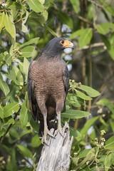 DSC_9741 (P2 New) Tags: 2017 accipitridae accipitriformes animaux busebuson cayenne date guyane levieuxport novembre oiseaux pays