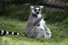 Lemur (Explore) (Maryse Hébert) Tags: