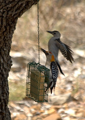 Golden-fronted Woodpeckers (austexican718) Tags: wildlife centraltexas hillcountry backyard birdfeeder nature