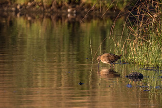 Water Rail Juvenile