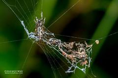 Trashline orb weaver (Cyclosa sp.) - DSC_1947 (nickybay) Tags: africa madagascar andasibe mitsinjo macro araneidae cyclosa trashline orb weaver spider