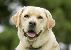 Puller (lablue100) Tags: buddy friend bestfriend dog lab pet animals animal labrador labradorretriever yellowlab summer outdoors nature headshot love