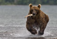 Running with fish (paolo_barbarini) Tags: kamchatka kuril wildlife bears orsi salmon fishing water acqua lake nationalgeographic animalplanet