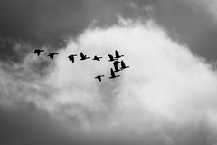 Black, White & Greylag (CJH Natural) Tags: greylaggoose graugans anseranser geese flock fly migrate cloud bw blackwhite sky monotone