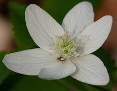 p1350434 (claudiopoli) Tags: piante plantae magnoliopsida ranunculales ranunculaceae anemone memorosa anemonebianco autouploadfilenamep1350434jpg