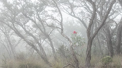 Flowering Waratah (wide) (Old-Man-George) Tags: 2017 australia bluemountains evanslookout georgewheelhouse nsw newsouthwales fog gumtree mist spring wwwgeorgewheelhousecom a175314 waratah flower red