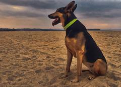 Hmm.. interesting, uh!? (LUSEJA) Tags: xara dog doberman shepherd beach sand cloud island landscape lgkite