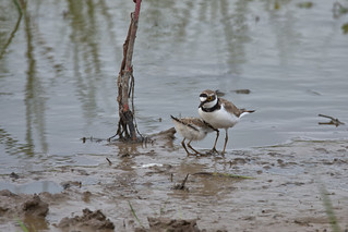 Little Ringed Plover with chick 2