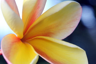 Plumeria Tipanier macro de près