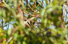Gobemouche noir (JeanJoachim) Tags: gobemouchenoir ficedulahypoleuca europeanpiedflycatcher passeriformes muscicapidae oiseau bird vogel aves uccello fågel fugl pássaro バード lintu птица ptak pentaxk5ii smcpentaxda300mmf4edifsdm trauerschnäpper