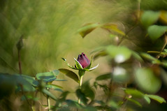 Rosebud (Andre F1.4) Tags: nature plant rose flower red green colour bokeh sunny f14 minolta