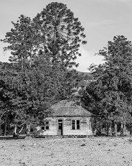 Dilapidated house in the country in black and white (Merrillie) Tags: landscape old australia monochrome rural pinetrees newsouthwales weatherboard rundown countryside cottage abandoned outdoors ruins country tree house dilapidated gresford farm trees blackandwhite farmhouse nsw