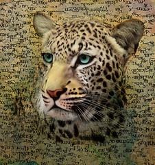 Jaguar (jaci XIII) Tags: animal felino carnívoro jaguar feline carnivore
