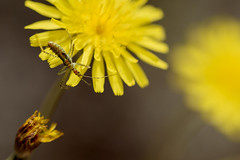 Xirimbela (Pilonga) Tags: bitxo floreta groc xirimbela bac diversitat segurquetéaltrenom insecte natura ocupa