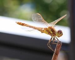 Common Darter (abrideu) Tags: abrideu canoneos100d macro commondarter dragonfly insect outdoor onmybalcony ngc npc