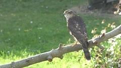 Sparrowhawk Clip..x (Lisa@Lethen) Tags: sparrowhawk clip video nature wildlife bird garden