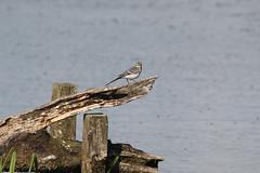 Pied Wagtail (jpotto) Tags: uk lancashire leightonmoss rspb piedwagtail bird