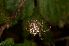 7D__5526 (Tyrone (Ty) Williams) Tags: kenfignnr nocturnalhedgerow canon 7d 70200l canon7d exxtensiontubes macro flash ringflash nature spider arachnid wildlife
