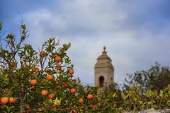Orangen auf Mallorca (Viewfreeze) Tags: mallorca urlaub sessalines illesbalears spanien es orangen