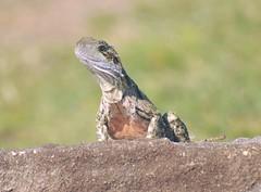 Eastern Water Dragon (Intellagama lesueurii) (Urban and Nature OZ) Tags: easternwaterdragon lizard lizards reptile reptiles lizrds waterdragon dragonlizards intellagama lesueurii