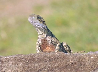 Eastern Water Dragon (Intellagama lesueurii)