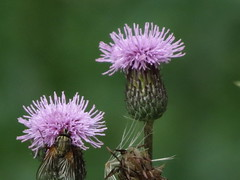 IMG_2858 (germancute) Tags: nature outdoor wildflower blume thuringia thüringen landscape landschaft